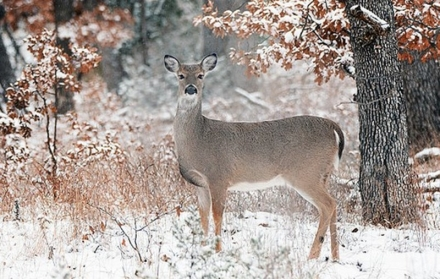 Oklahoma's Holiday Antlerless Deer Gun season will open Dec. 22 for 10 days, giving firearms hunters a chance to harvest one more deer. (Larry E. Smith/FLICKR CC-BY2.0)