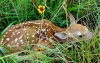 This spring, many people will walk up on a fawn that appears to be alone. Biologists say it is best to resist the urge to help because adult animals are likely nearby.   [MATT JOHNSON / READERS SHOWCASE 2016]