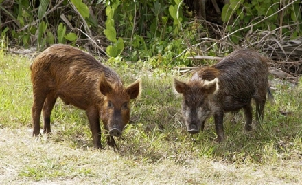 Feral hog Outreach Meeting on March 29th