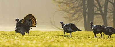 Wildlife Commission Trims, Alters Turkey Hunting Bag Limits